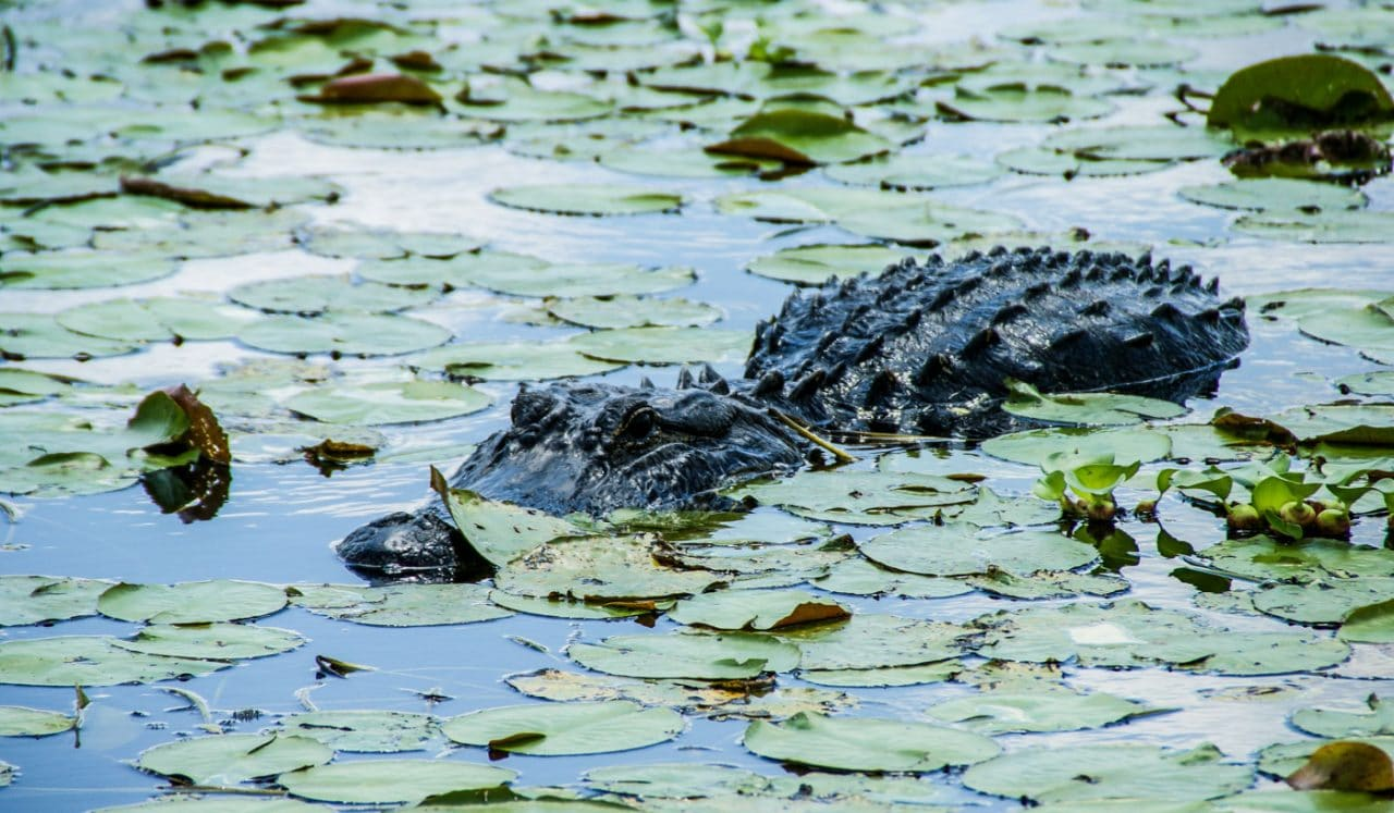 Cestopis Florida - Myakka River SP