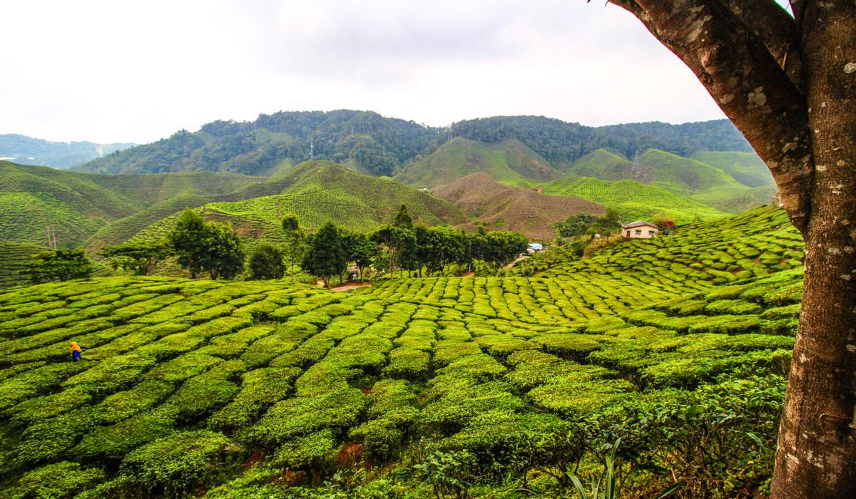 Cestopis Malajsie - Cameron Highlands